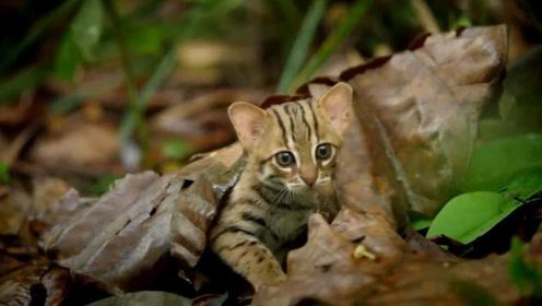 世界上最小的猫咪,体重只有1公斤巴掌大小,视力是人的6倍