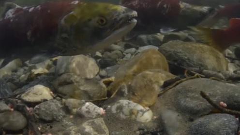 将淡水鱼放进海水里,鱼会有什么反应?小哥实验,镜头记录全程