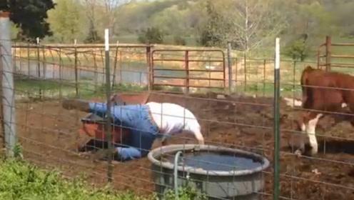 男子妄想骑在牛身上,结果被牛狠狠甩下,网友:差点断子绝孙