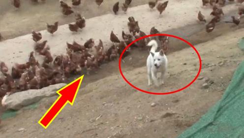 一只狗管理1万多只鸡,堪称鸡场统治者!专治各种不服!