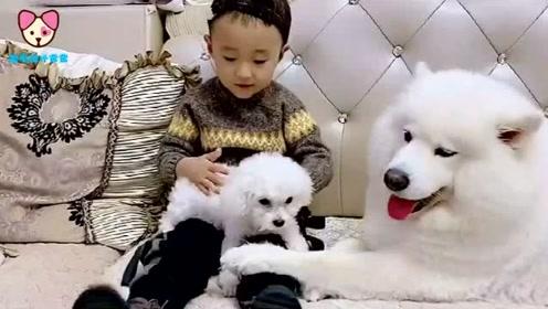 小男孩只爱小狗仔,不喜欢狗妈妈了,萨摩耶心里委屈为啥不爱我了
