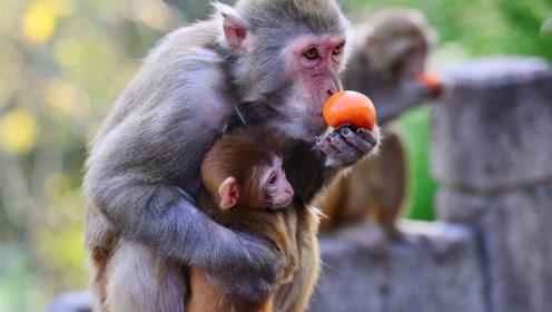 猴妈妈太自私,吃剩的食物扔掉也不给孩子,看完了让人心寒