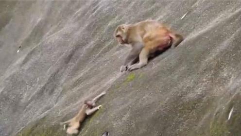 猴妈妈不想养小猴子,竟然将它推下悬崖,镜头记录残忍全过程!