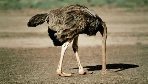 鸵鸟遇到危险时,为何要把头埋进沙子?看完解开多年疑惑