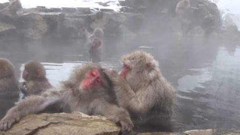 动物园的猴子悠然自得泡温泉,全程舒服不行,像极了退休的老大爷
