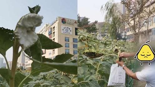 杭州向日葵花海被摧残,100多株惨遭摘头,市民直呼痛心