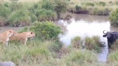 一只水牛被群狮包围,但其同伴及时赶到将狮群吓跑,不作不死