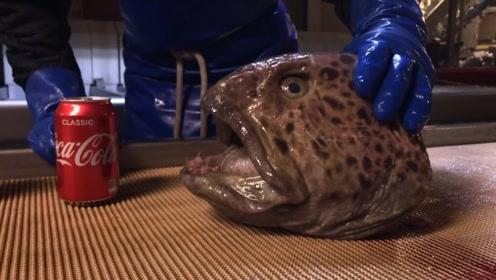 巨大鲶鱼只剩一个头,还会有破坏力吗?塞瓶可乐尝试,直接吓一跳