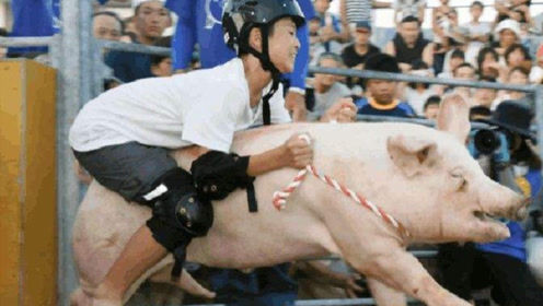 """日本人大开脑洞发明骑猪比赛:脾气越""""暴躁""""的越容易入选,冠军获得50万"""