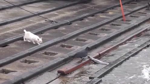 猫咪偷鱼乌鸦在后,乌鸦捡漏计划失败,自己还差点被抓