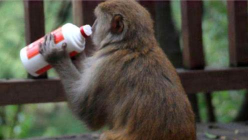 猴子一下喝光整瓶酒,镜头记录搞笑一幕,请憋住别笑!