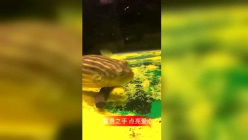 把蝎子扔河豚鱼缸,突然的这一幕,这才是真正的秒杀!