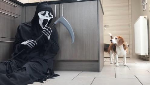 """""""死神""""躲在厨房,想要将狗狗带走,镜头记录搞笑画面"""