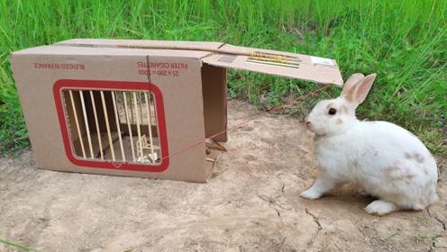 男孩想象力太丰富!用纸箱制作捕兔机,掀开纸箱野兔自己进去!