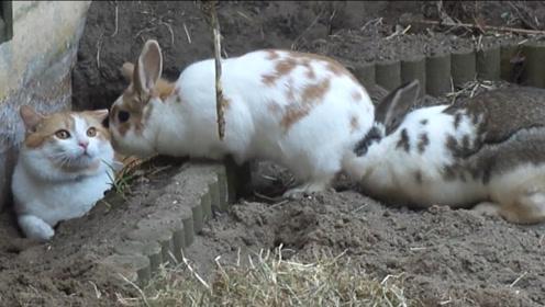 猫咪不小心掉进兔子窝,看到两只肥兔子后,接下来忍住不要笑