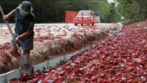 世界最嚣张的螃蟹,不仅独占澳洲一小岛,政府还派军队24小时保护