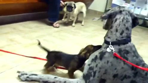 当腊肠犬第一次见到比自己大的狗,兴奋的像个宝宝,大狗慌了