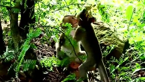 小猴子们打群架,谁也不肯让着谁,场面看着十分的激烈。