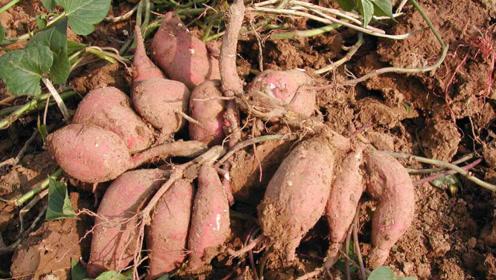 红薯储存不用放地窖了,这个方法保存半年不烂,而且越放越甜