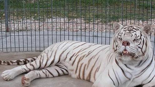 黑心商人的失败品,这只老虎太可怜不仅丑智商为零,经常自己跑去撞墙