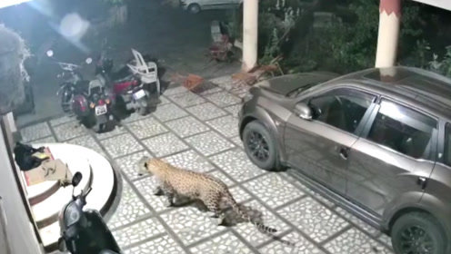 野生花豹闯入居民区,一口咬向了睡觉的狗子,狗:吓劳资一跳!