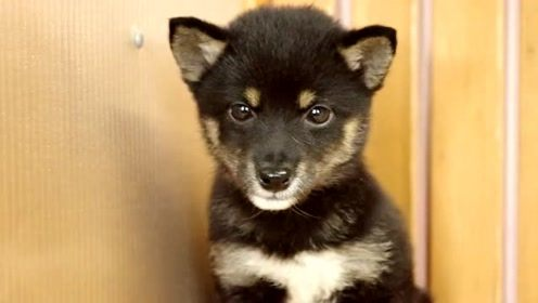 刚到新家瑟瑟发抖的黑柴犬宝宝,这天然呆的小模样也太可爱了吧!
