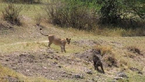 狮子主动挑衅狒狒,狒狒:人不犯我,我不犯人!镜头记录精彩瞬间
