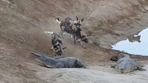 饿了10天的野狗群,碰上正在晒太阳的鳄鱼,镜头拍下精彩全过程