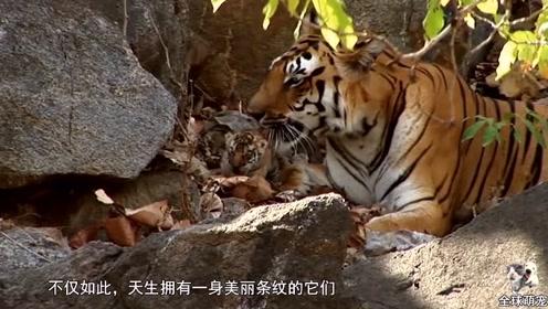 救援队雪地遇到小老虎,用树枝将它制服,小老虎:有本事单挑