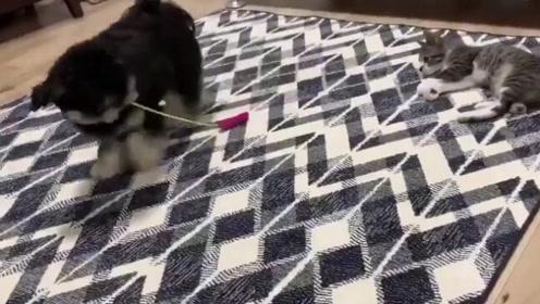 狗子:我为这个家付出太多了,猫还要我来逗,我太难了