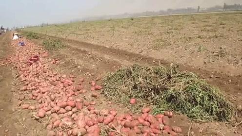 红皮土豆采摘,机器翻地收割,效率真高啊