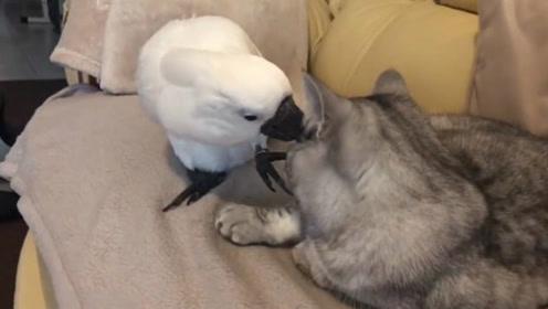 比利时一只鹦鹉为猫咪朋友梳理毛发 温柔又可爱