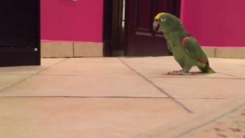 鹦鹉从门缝里偷看主人在不在家,下一秒发出魔性的笑声:我可以撒欢了!