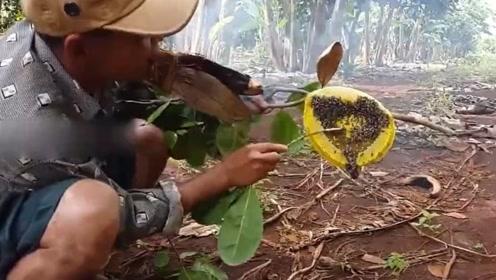 农村小伙在野外发现蜂巢,赶走蜜蜂后口水都要流出来了