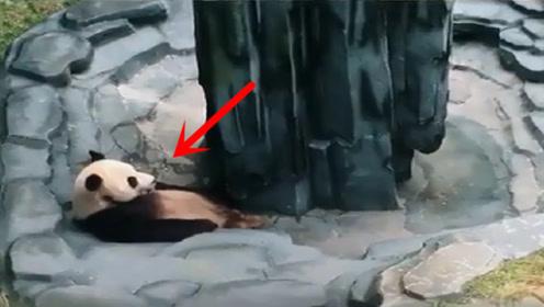 熊猫躺在水池边思考熊生,不料饲养员突然放水,熊猫:吓死劳资了
