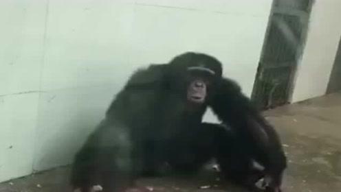 动物专家过来看看,这只猩猩怎么了,恕我看不懂!