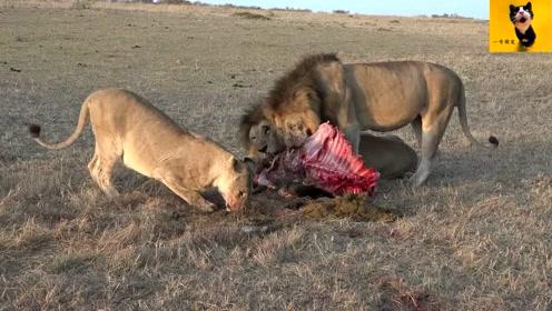 不挑食的狮子王,老牛的胃被咬破!里面的草料与鲜肉混合一起