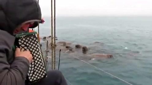 难以置信!俄罗斯一男子演奏手风琴 一大群海象被吸引过来
