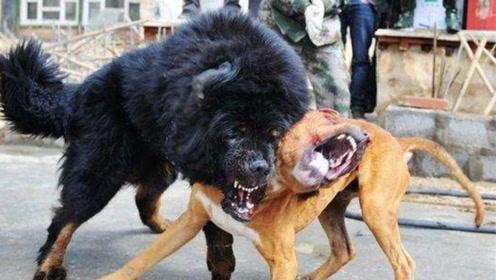 """世界上最""""凶恶""""的狗,每次打架都誓死不休,被多国明令禁养!"""
