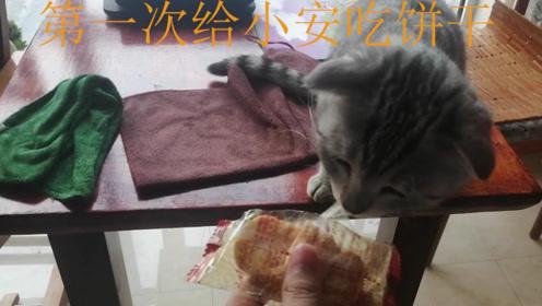 """小猫""""吃播""""上线,第一吃到小饼干,主人:注意你的吃相"""