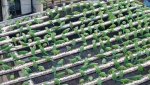 """印度男子""""拐""""3000只鹦鹉做宠物,没花一分钱,全都是骗来的!"""
