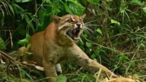 """""""龙虎彪豹""""中能杀死老虎的""""彪""""长啥样?我国动物园仅有3只!"""