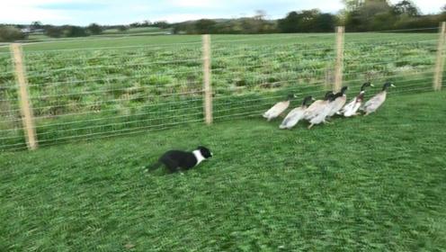 狗狗乱入鸭群,演绎经典版老鹰捉小鸡,画面简直太搞笑了