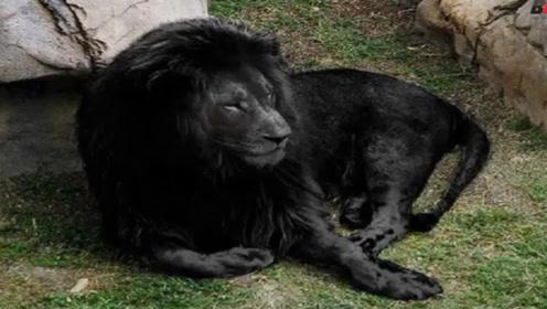 草原上罕见的黑色雄狮,走路威风凛凛,比大熊猫还要稀有