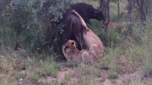 非洲野水牛被狮群围捕,同伴试图搭救,却敌不过强悍的狮群