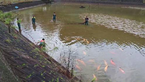 乡亲们集体拉网捕鱼,一网下去,全是值钱的宝贝大锦鲤,这次赚大了
