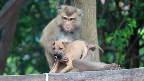 搞笑猴子一定要帮狗狗抓虱子,可怜的狗狗一想走就被抓回来!