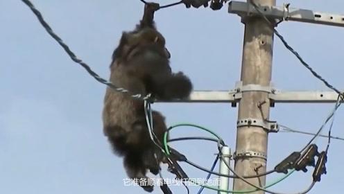 日本黑猩猩有多疯狂?自己跑到高压电线上玩,替它捏把汗!