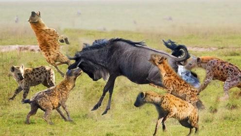 """""""掏肛兽""""鬣狗为什么怕非洲人?原来一切都不是偶然"""
