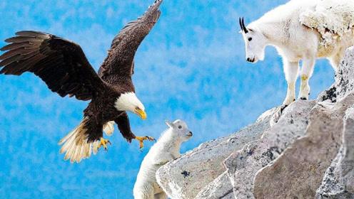 岩羊不小心被老鹰捕获,要和老鹰同归于尽,下一刻老鹰悲剧了